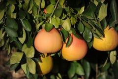 Grapefruktträd med nya fullvuxna rosa grapefrukter Arkivfoto