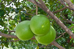 grapefrukttree Royaltyfria Foton