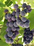 Grapeful Royalty Free Stock Photo