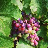 Grapeful. Colorful bunch of grapes on vine Stock Images