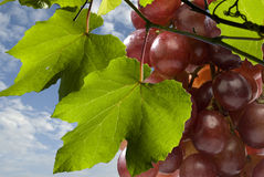 Grapery Fotografia Stock