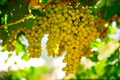 Grapes. Î'unches of grapes ready for cutting in a Greek vineyard royalty free stock photos
