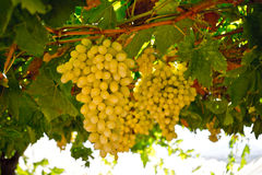 Grapes. Î'unches of grapes ready for cutting in a Greek vineyard royalty free stock images