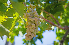 Grapes. Î'unches of grapes ready for cutting in a Greek vineyard stock photos