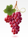 Grapes. Red grapes with green leaf on a white background royalty free illustration