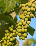 Grapes. On a winery at Bucks county, PA Royalty Free Stock Images
