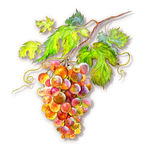 Grapes. Bunch of grapes. Watercolor. Grape frame vector illustration
