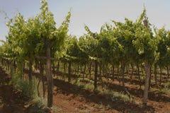Grapes. Growing in a Croatian vineyard Royalty Free Stock Image