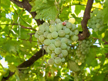 Grapes. Green grapes hanging on vine Royalty Free Stock Photo