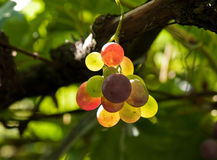 Grapes. Colorful grapes hanging from a vine Royalty Free Stock Photos