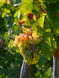 Grapes. Colorful grapes hanging on a vine Royalty Free Stock Photo