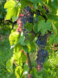 Grapes. Colorful grapes hanging from a vine Stock Photo