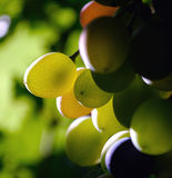 Grapes; Stock Image