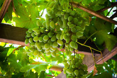 Grapes. Isolated bunch of grapes in the sunshine Royalty Free Stock Images