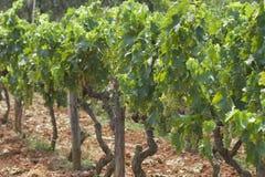 Grapes. Growing in a Croatian vineyard Royalty Free Stock Photo