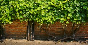 Grapes. Climbing on a brick wall royalty free stock photography