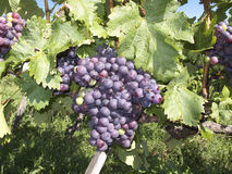 Grapes. In the vineyard of the city of Stuttgart Stock Images