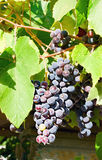 Grapes. Glowing violet wine grapes among green leaves Stock Photo