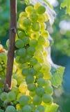 Grapes. Sunset in vineyard. Green grapes of Niagara Royalty Free Stock Image