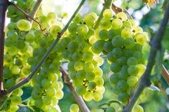 Grapes. Sunset in vineyard. Green grapes of Niagara Royalty Free Stock Photography
