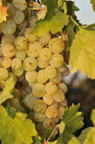 Grapes. Large grapes hanging on a vine in a vineyard Stock Photo