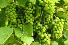 Grapes. Vine-stock in a vineyard Royalty Free Stock Photo