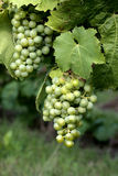Grapes. Growing on the vine Stock Image