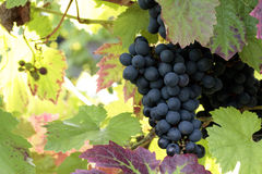 Grapes. Growing on the vine Royalty Free Stock Images