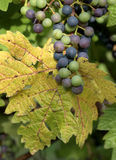 Grapes. Growing on the vine Royalty Free Stock Photography