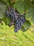 Grapes. On a field Royalty Free Stock Photos
