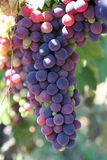 Grapes. Bunch of black grapes close up Stock Photography