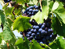 Grapes. Bunches of blue grapes on a branch with green leaves on a sunny day Stock Photography