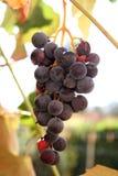 Grapes. A close-up pf black grapes stock photos
