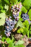 Grapes. Nice grapes clusters in wineyard Royalty Free Stock Image