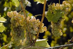 Grapes. Fresh grapes at the vine in september Royalty Free Stock Photography