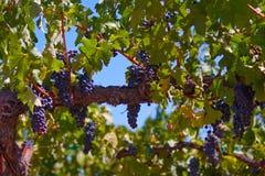 Grapes. Growing in the california sun Royalty Free Stock Photos