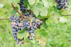 Grapes. Ready to be picked Royalty Free Stock Images