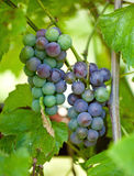 Grapes. On vine in vineyard Stock Photos