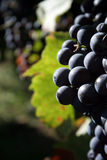 Grapes. This is a blue wine grapes Royalty Free Stock Photos