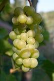 Grapes. Ripe grapes on the vine stock photo