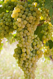 Grapes. Hanging on a vine in Spain Royalty Free Stock Photo
