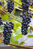 Grapes. Growing on a wine Stock Photo