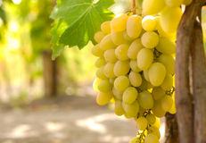 Grapes. Green grapes on vine. Shallow depth of field Royalty Free Stock Photo