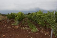 Grapes. Growing in a Croatian vineyard Stock Photos