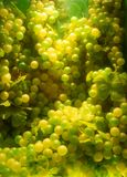 Grapes. A good many green grapes Royalty Free Stock Photo