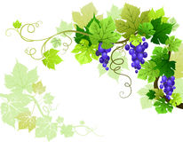 Grapes. With space for text vector illustration