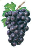 Grapes. Detailed illustration of a dark Grapes Stock Photo