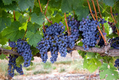 Horizontal Lush Food Fruit Grapes in Vineyard Royalty Free Stock Photo