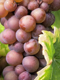 Grapes. Culture of vines and grapes Royalty Free Stock Photos