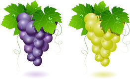 Grapes. Vector grapes: blue and white Stock Photo